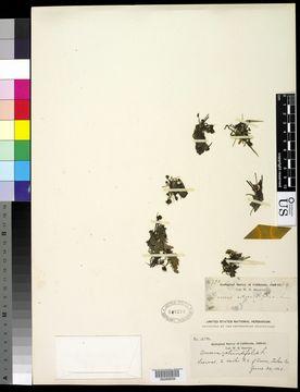 Image of Common Sundew