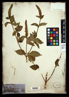 Image of yellow giant hyssop
