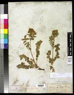 Image of <i>Drymocallis fissa</i> (Nutt.) Rydb.