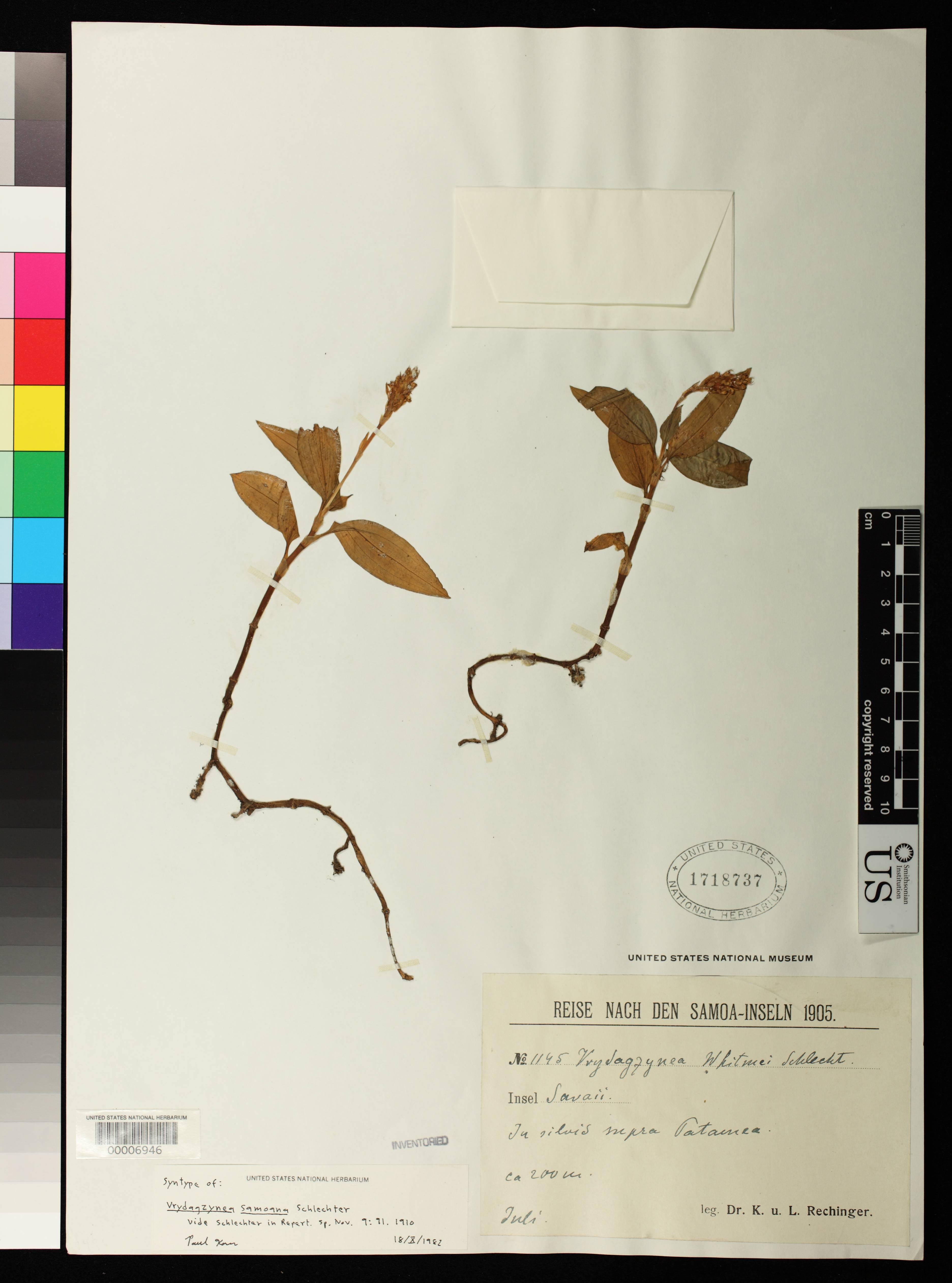 Image of <i>Vrydagzynea samoana</i> Schltr.