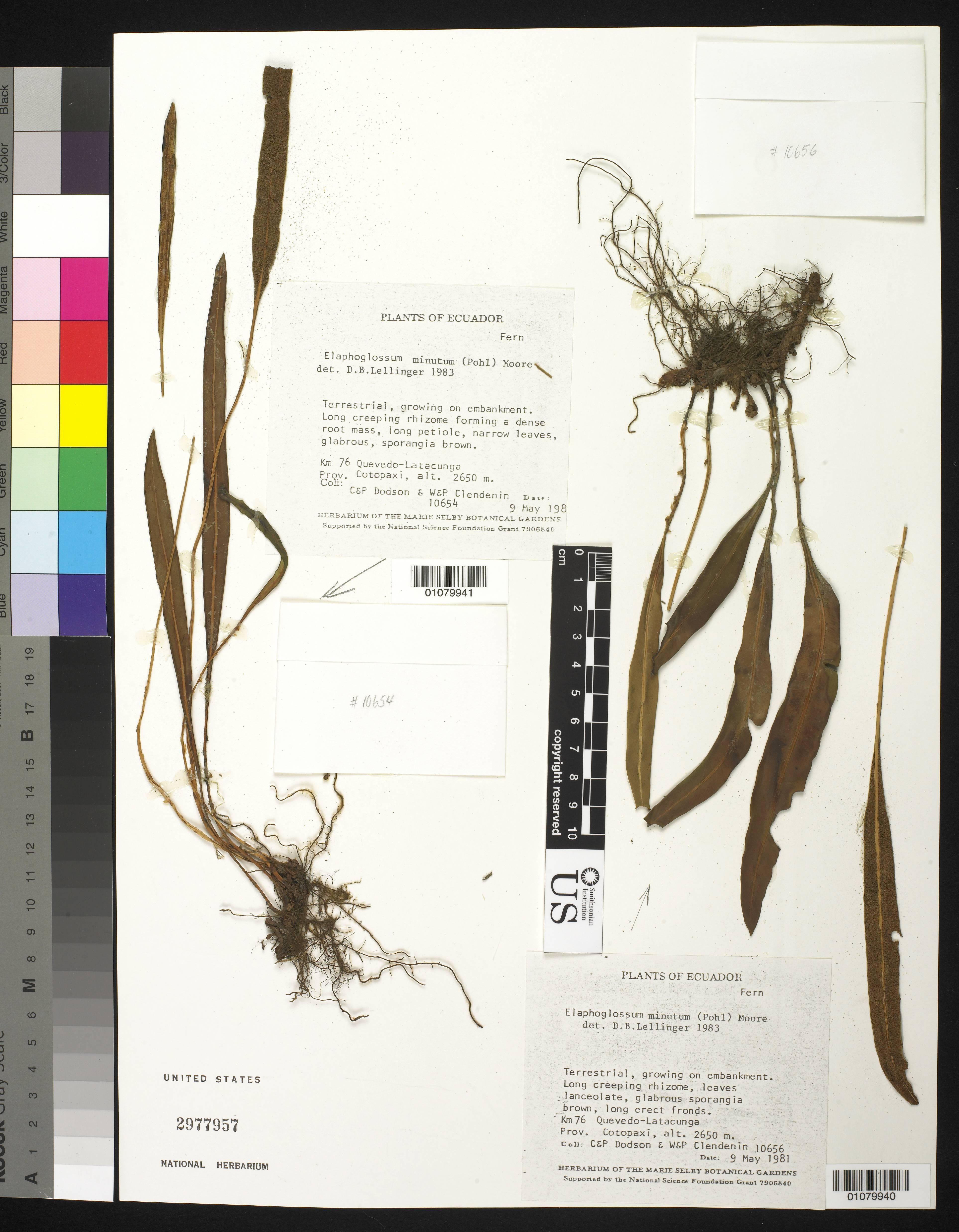Image of <i>Elaphoglossum macilentum</i> Mickel