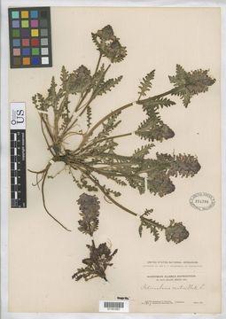 Image of whorled lousewort
