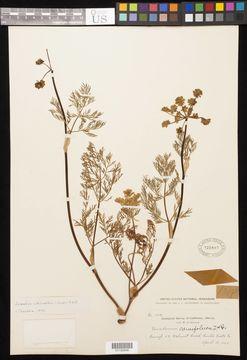 Image of common lomatium