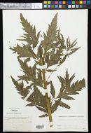 Image of Durango root