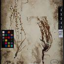 Image of <i>Hedeoma plicatum</i> Torr. ex Emory