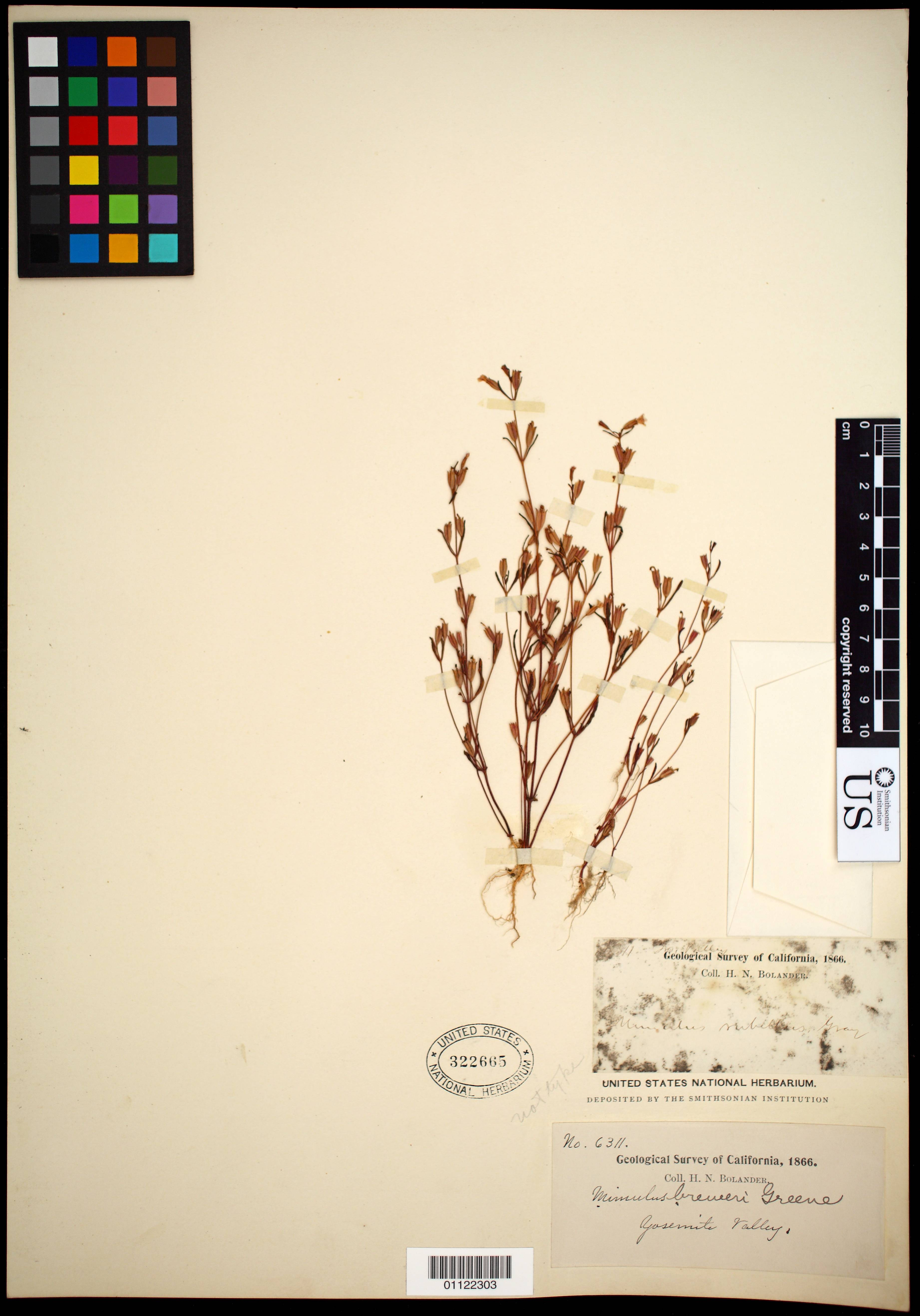 Image of Brewer's monkeyflower