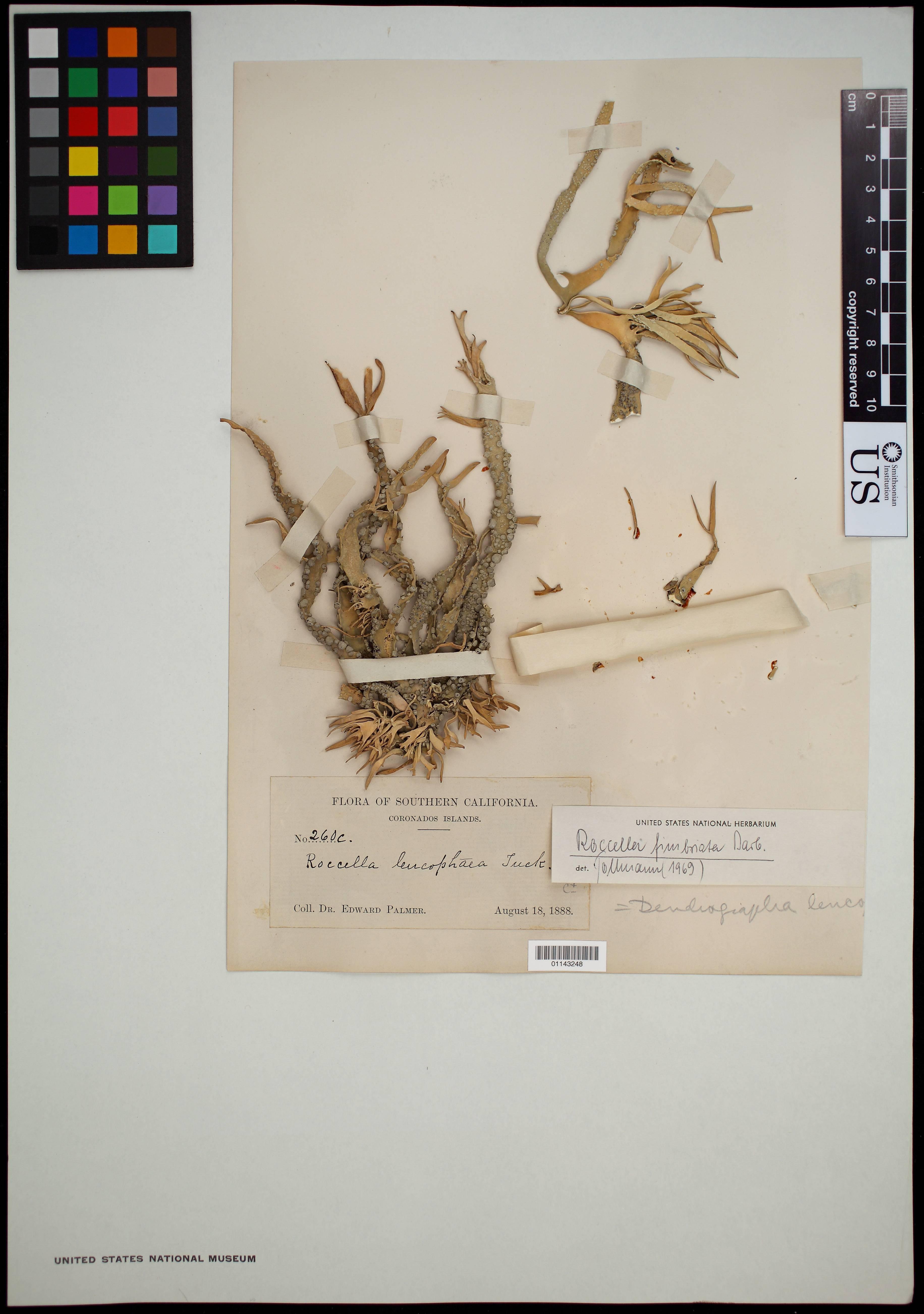 Image of roccella lichen