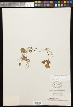 Image of <i>Viola guatemalensis</i> W. Becker
