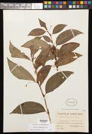 Image of <i>Viola stipularis</i> Sw.