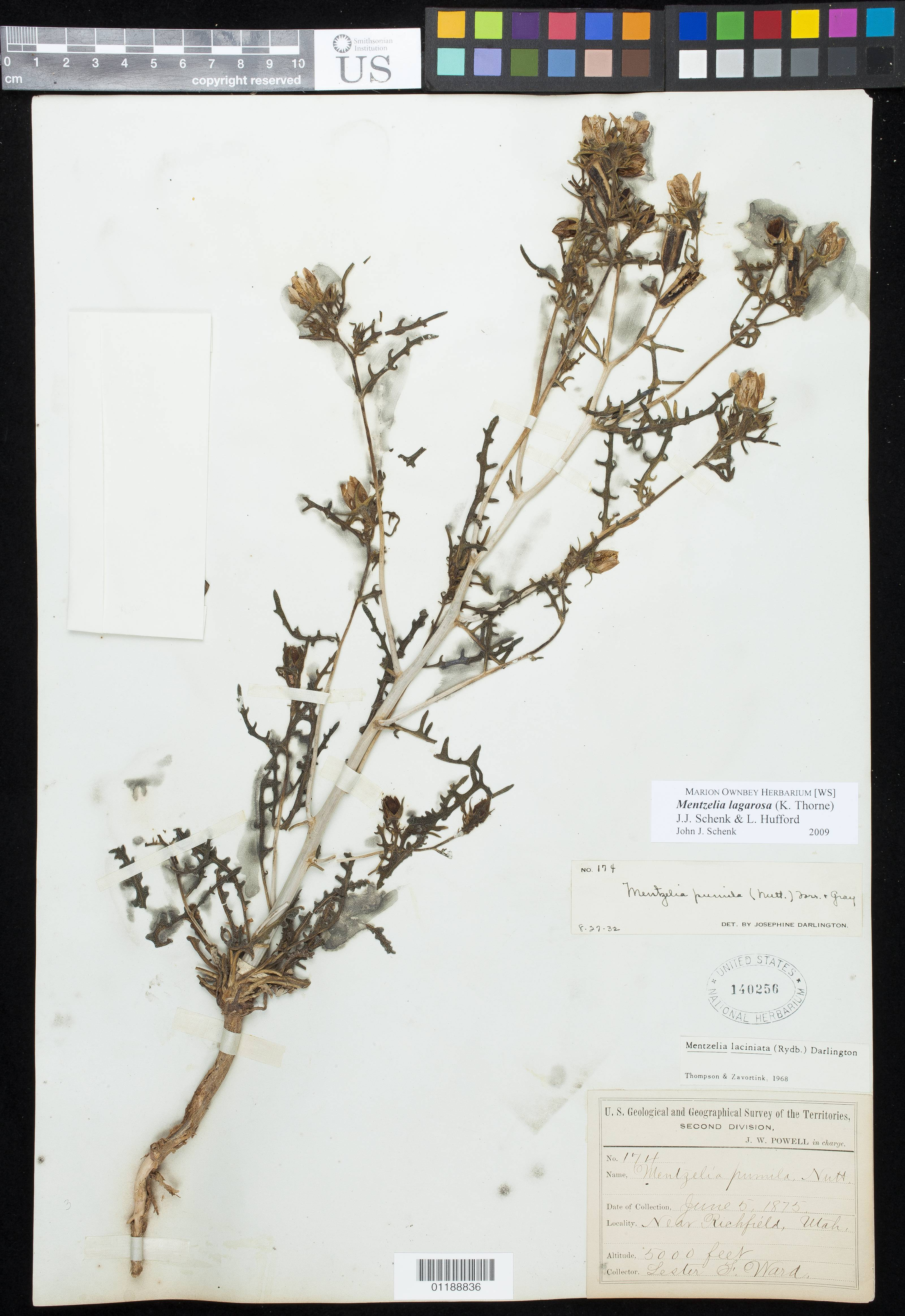 Image of <i>Mentzelia lagarosa</i> (K. H. Thorne) J. J. Schenk & L. Hufford