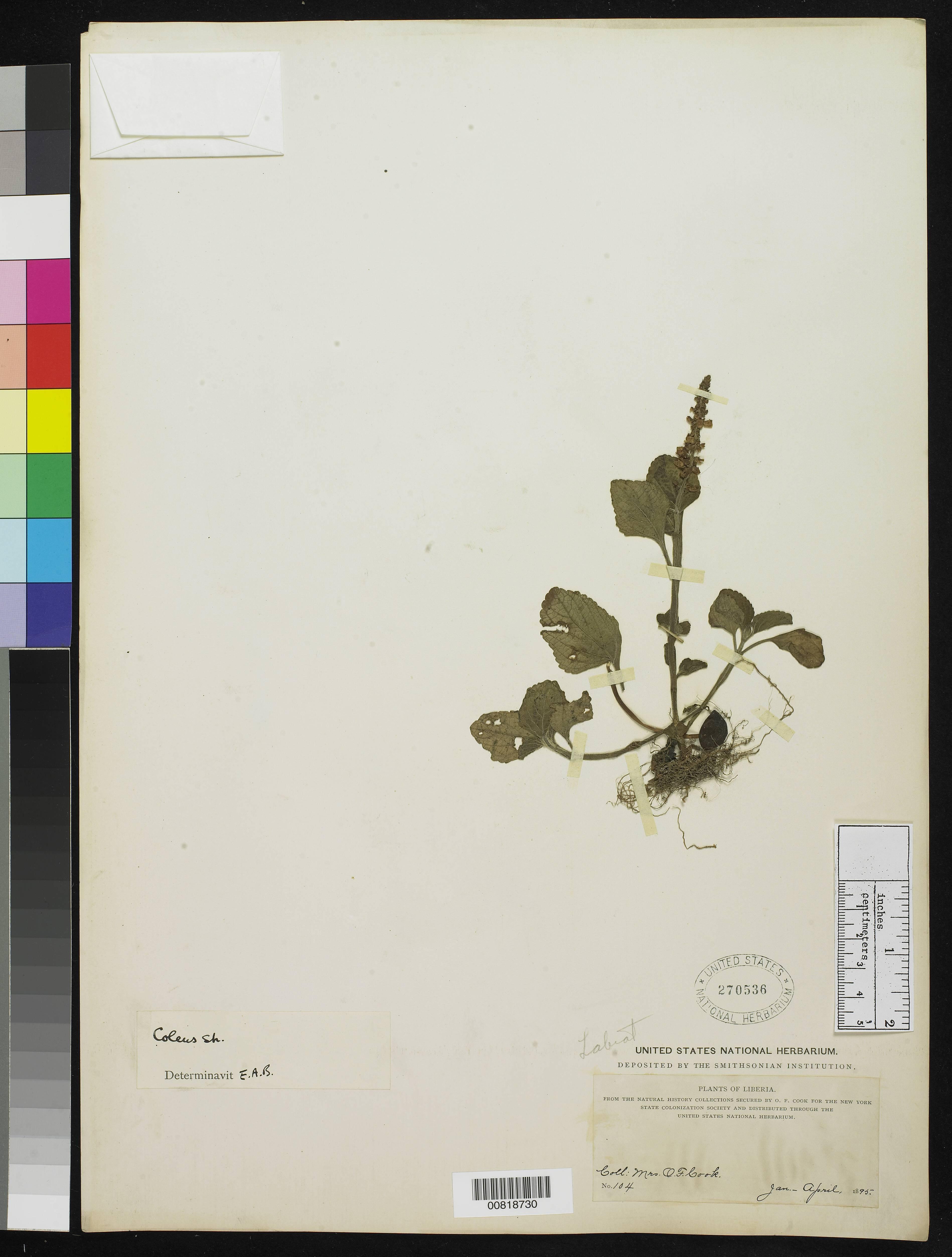 Image of coleus