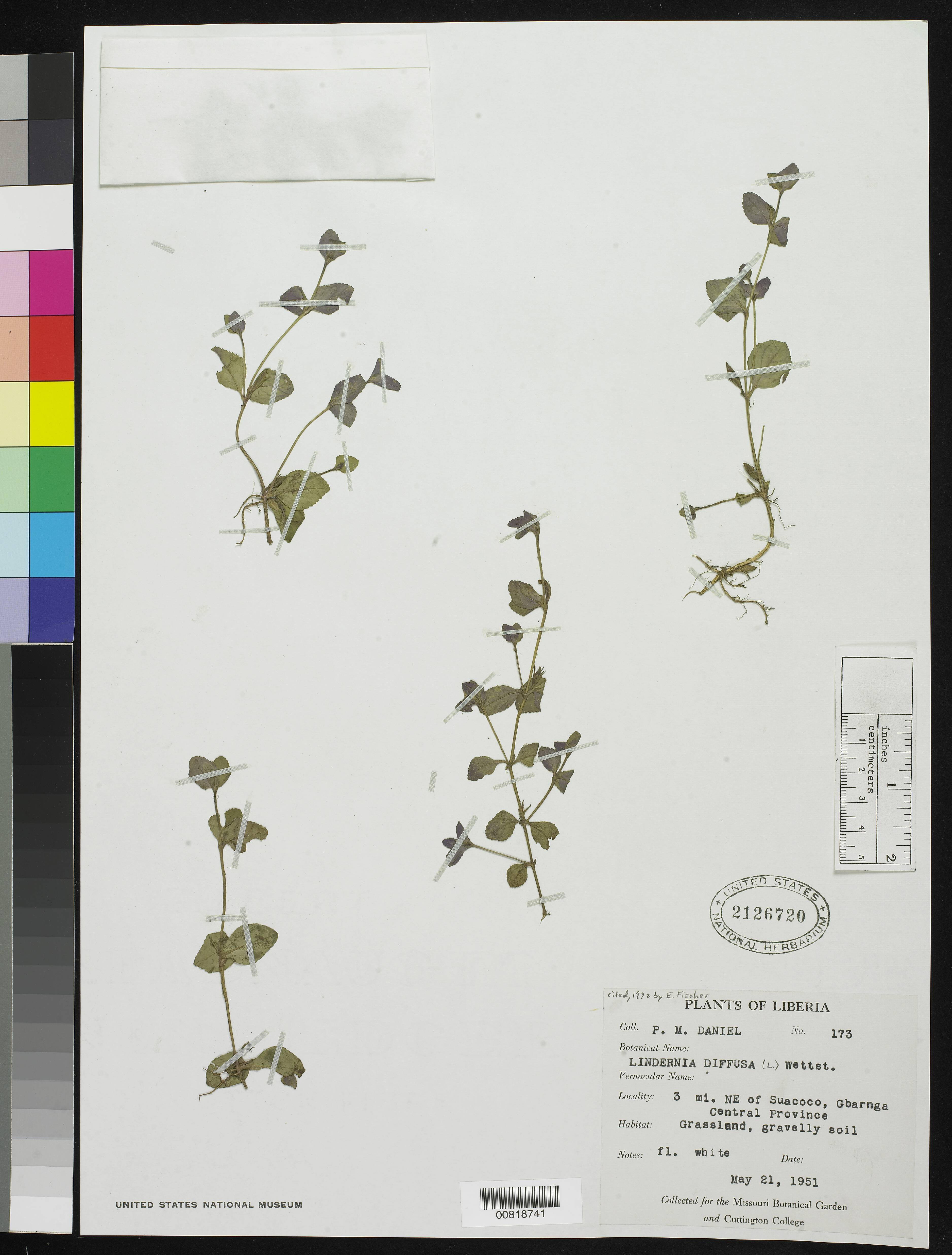 Image of spreading false pimpernel