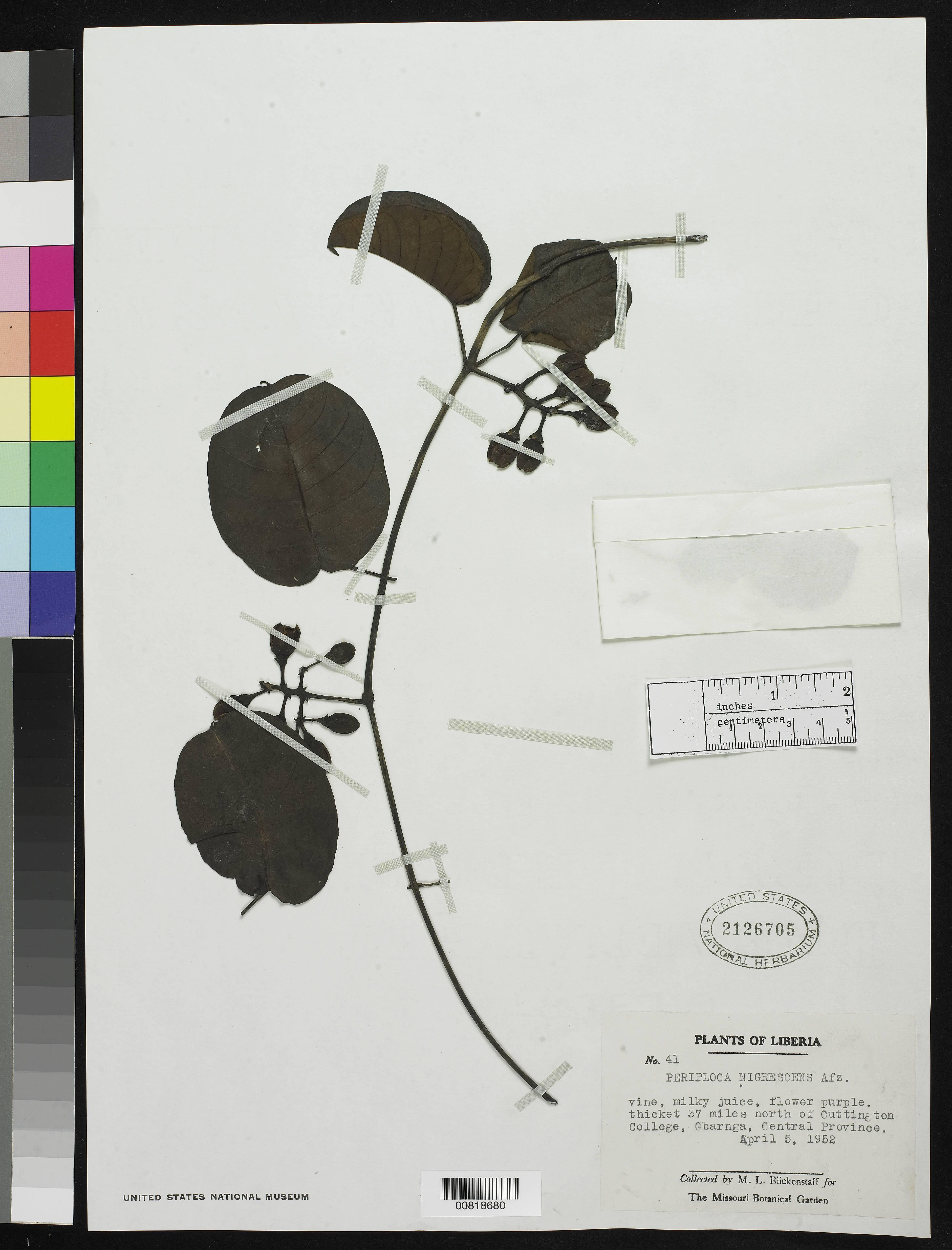 Image of <i>Periploca nigrescens</i> Afzel.