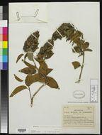 Image of <i>Bonamia thunbergiana</i> (Roem. & Schult.) F. N. Williams