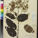 Image of <i>Harungana madagascariensis</i> Poir.