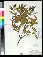 Image of <i>Symplocos prunifolia</i> Siebold & Zucc.
