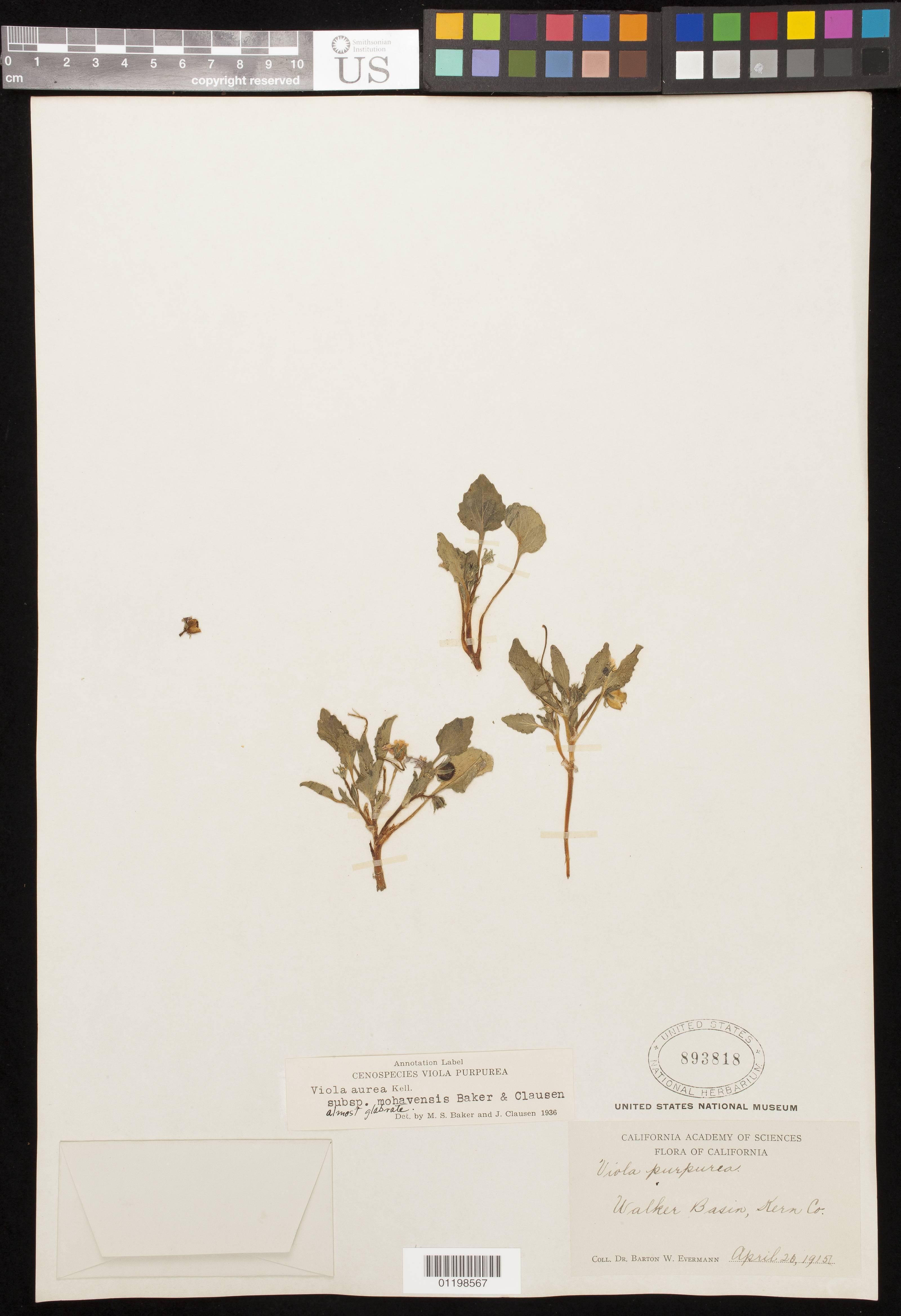 Image of golden violet