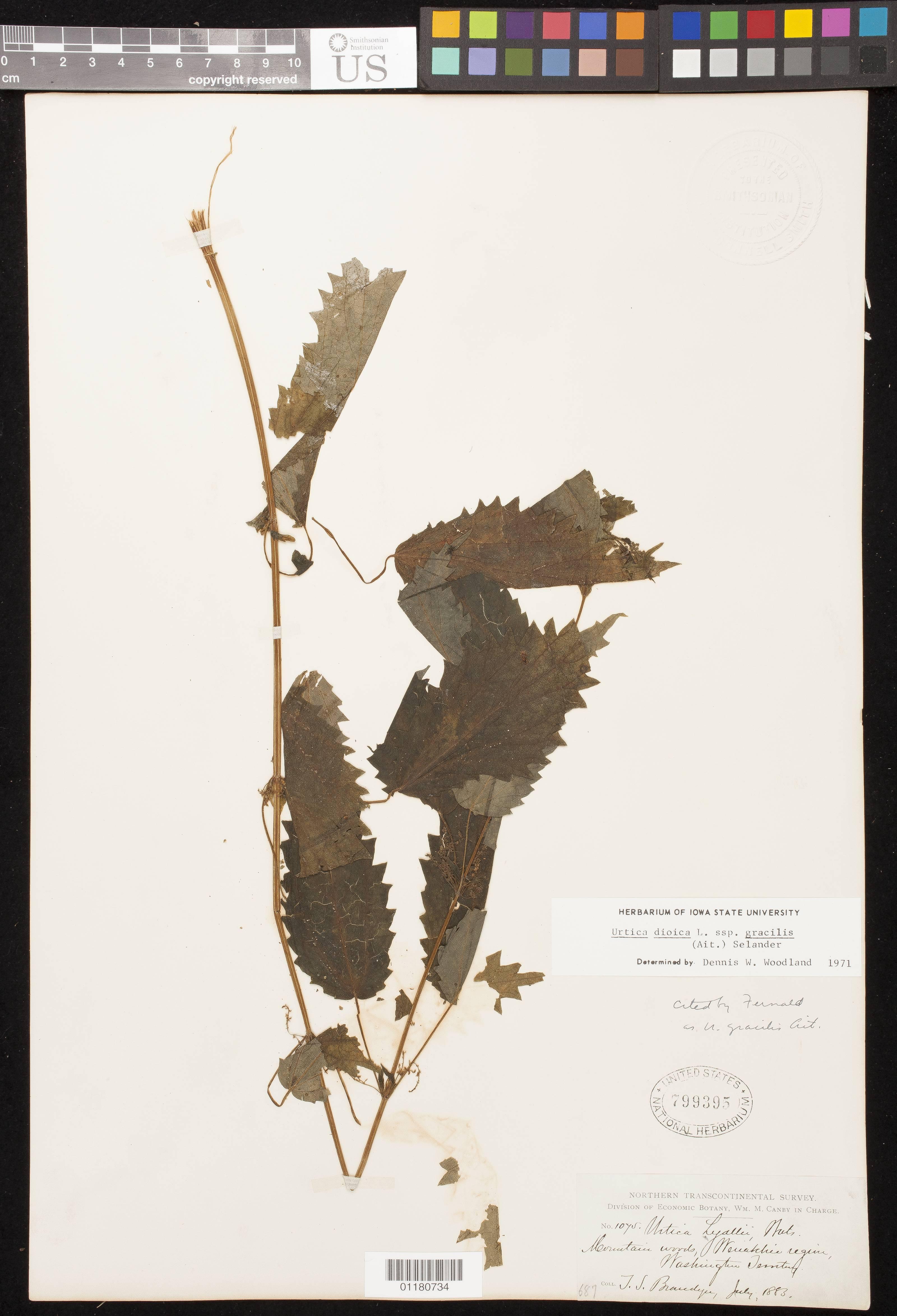 Image of California nettle