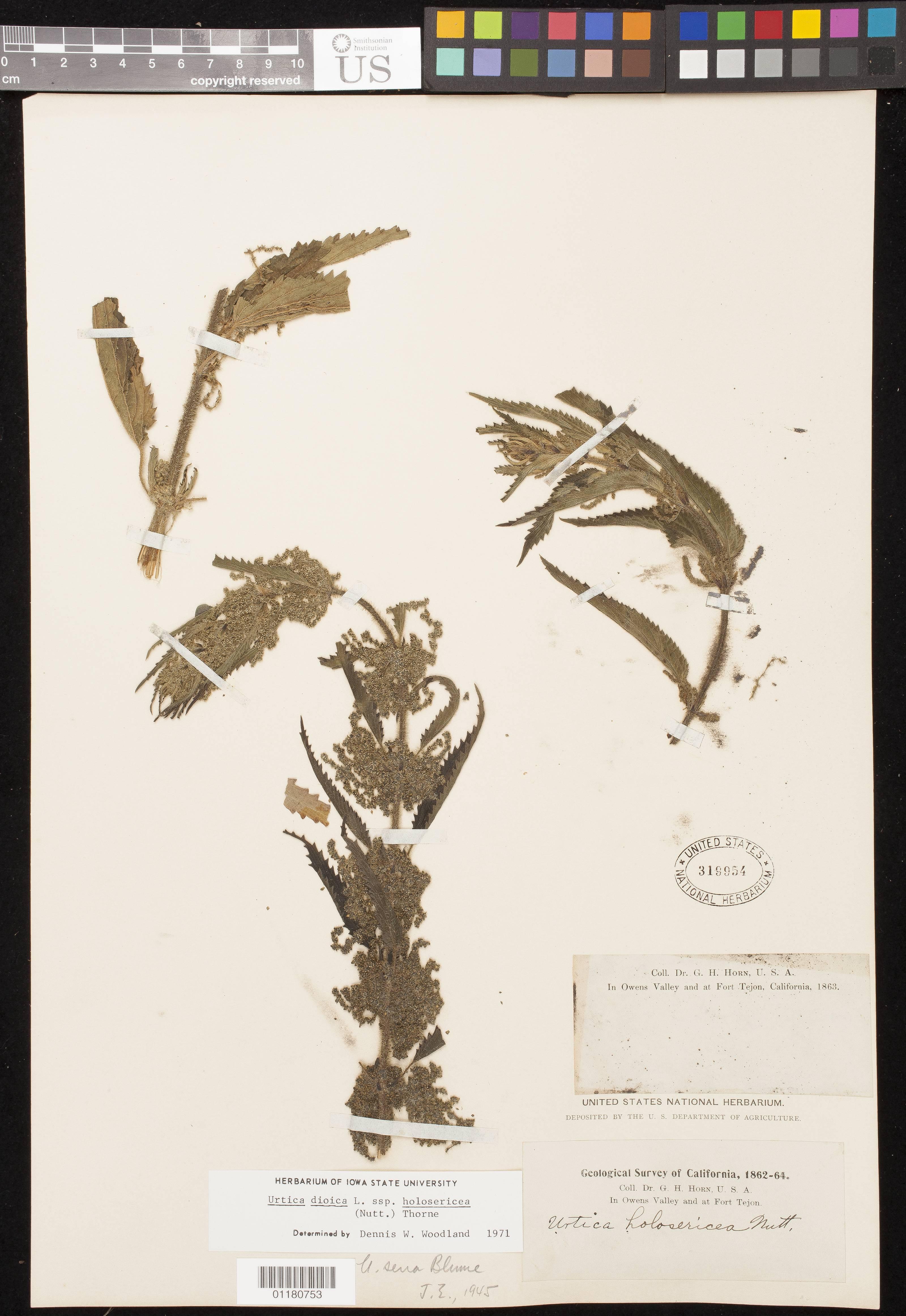 Image of stinging nettle