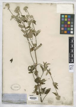 Image of White-Leaf Mountain-Mint