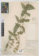 Image of Sierra mint