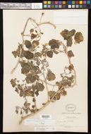 Image of lobed-leaf stingbush