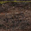 Image of <i>Thelocarpon strasseri</i> Zahlbr.