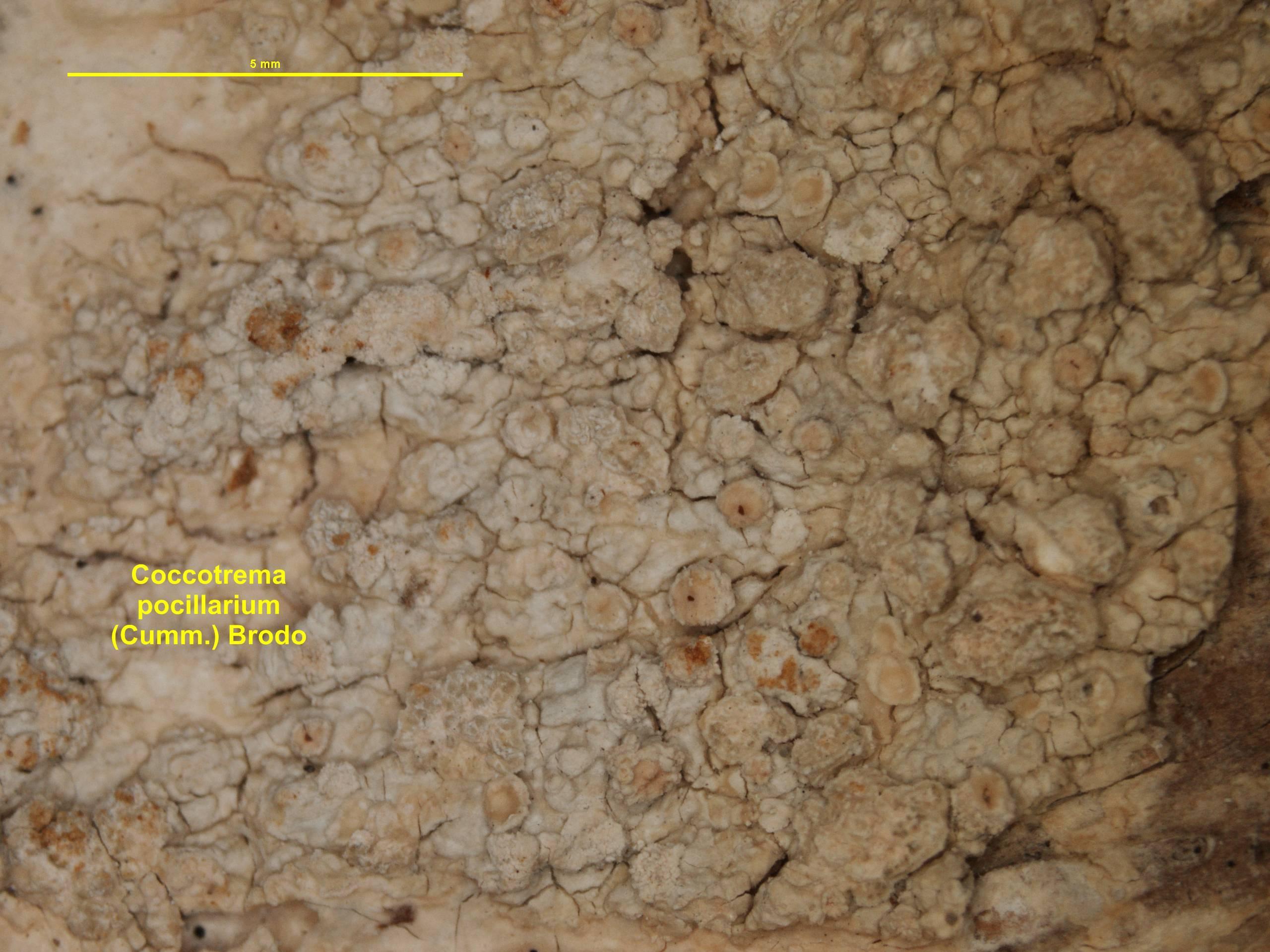 Image of coccotrema lichen
