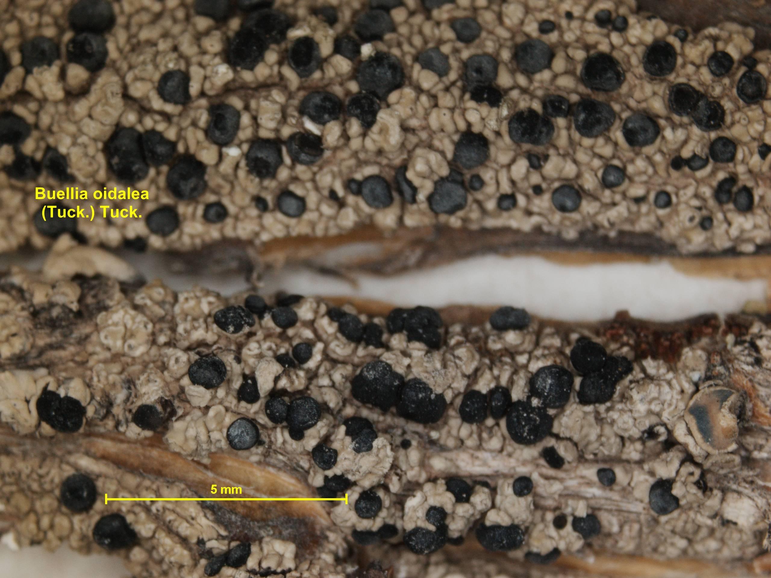 Image of <i>Buellia oidaliella</i> A. Nordin