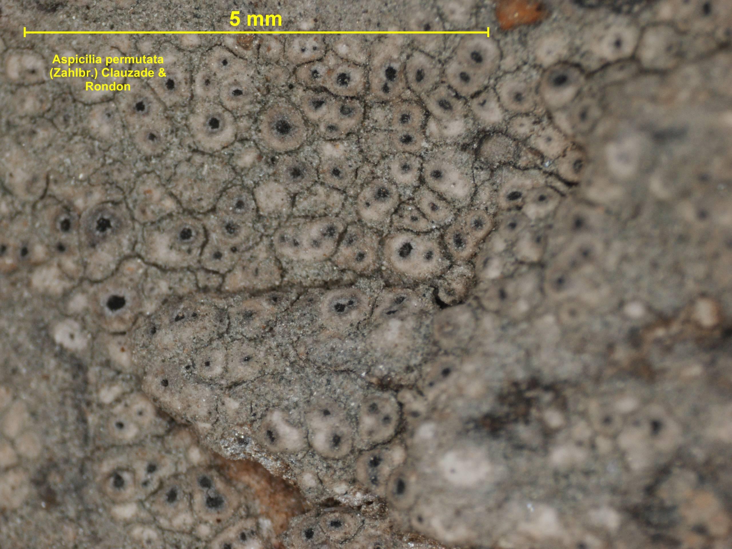 Image of <i>Aspicilia permutata</i> (Zahlbr.) Clauzade & Rondon
