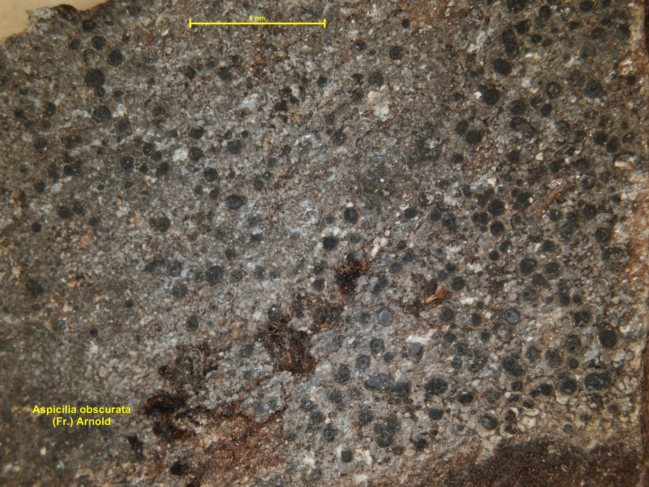 Image of <i>Aspicilia obscurata</i> (Fr.) Arnold