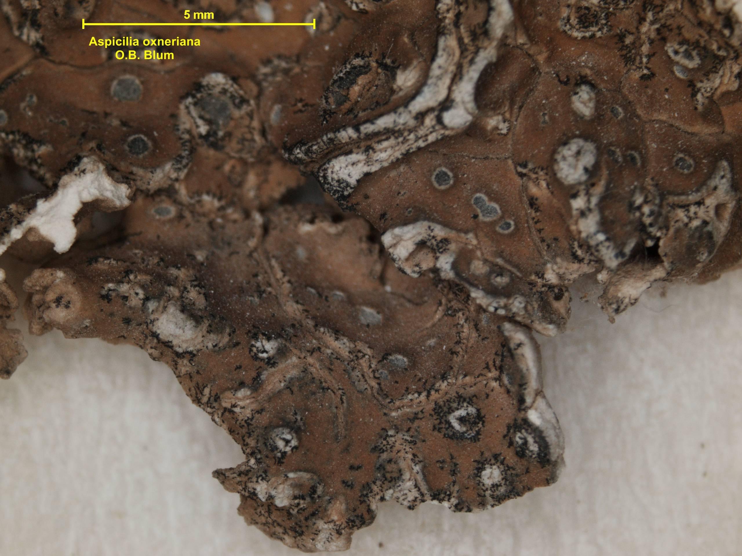 Image of <i>Aspicilia oxneriana</i> O. B. Blum