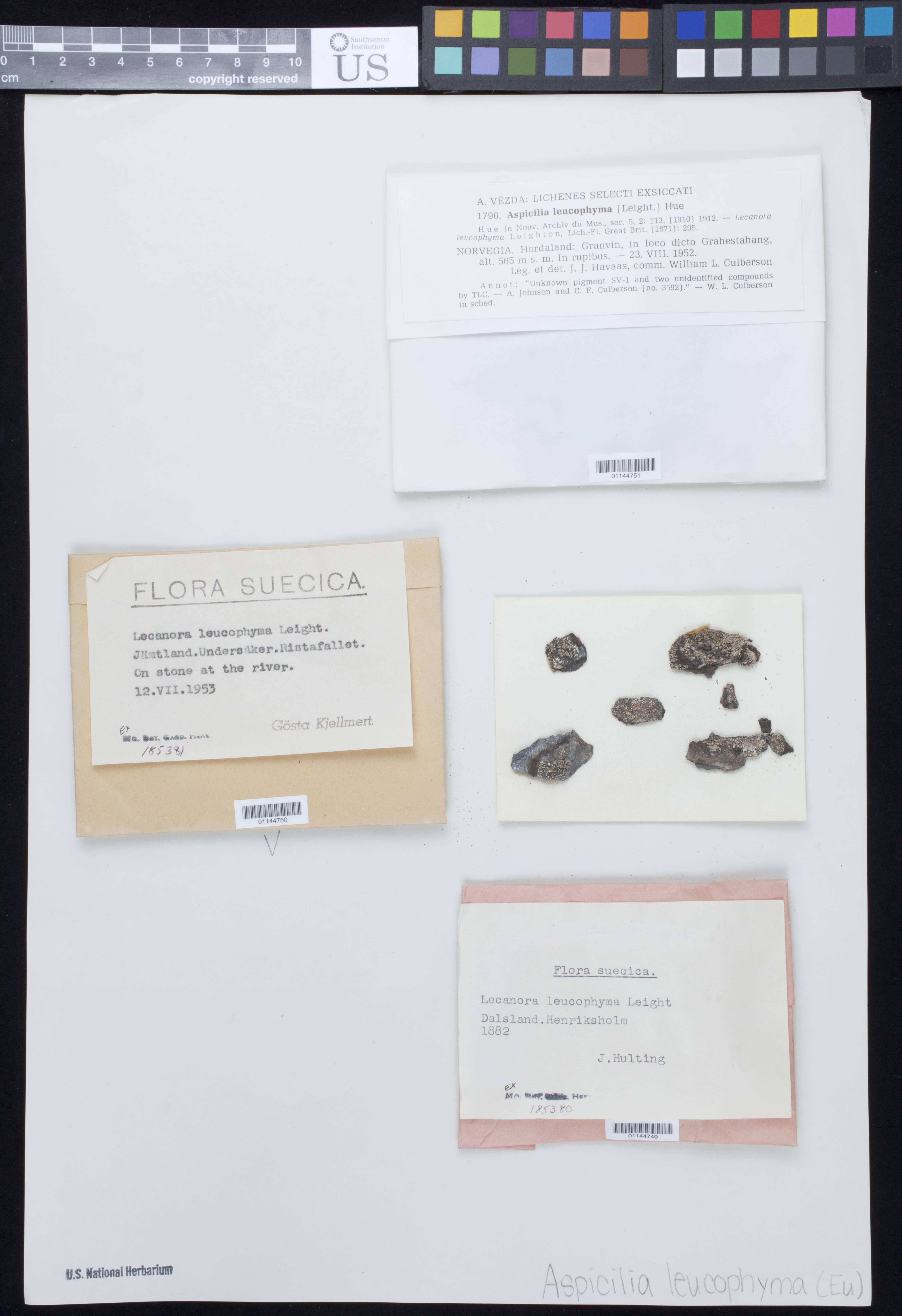 Image of <i>Koerberiella wimmeriana</i> (Körb.) Stein