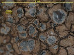 Image of <i>Aspicilia hypospilota</i> (Vain.) Hue
