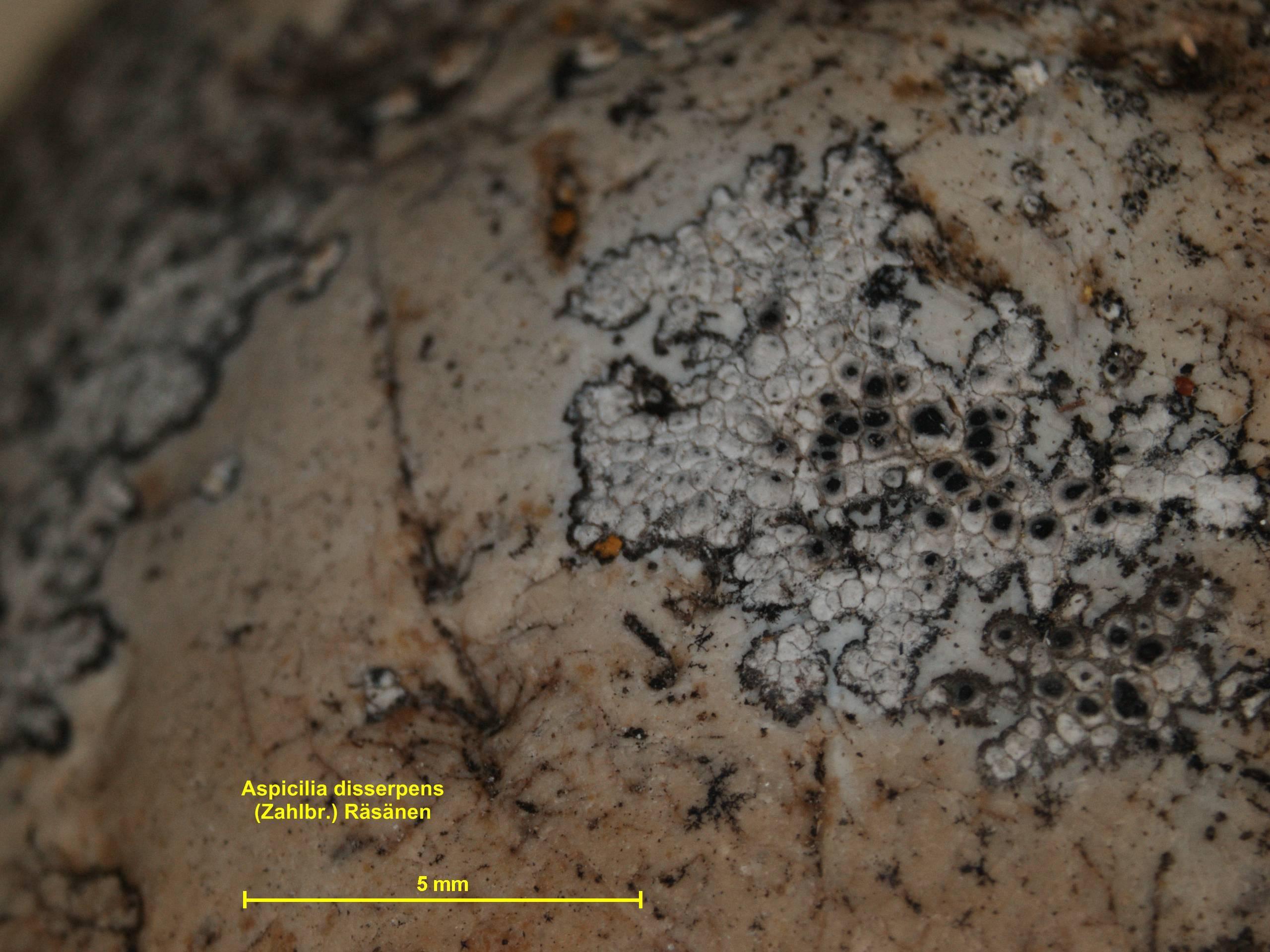 Image of rimmed lichen