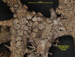 Image of <i>Biscogniauxia repanda</i> (Fr.) Kuntze 1891