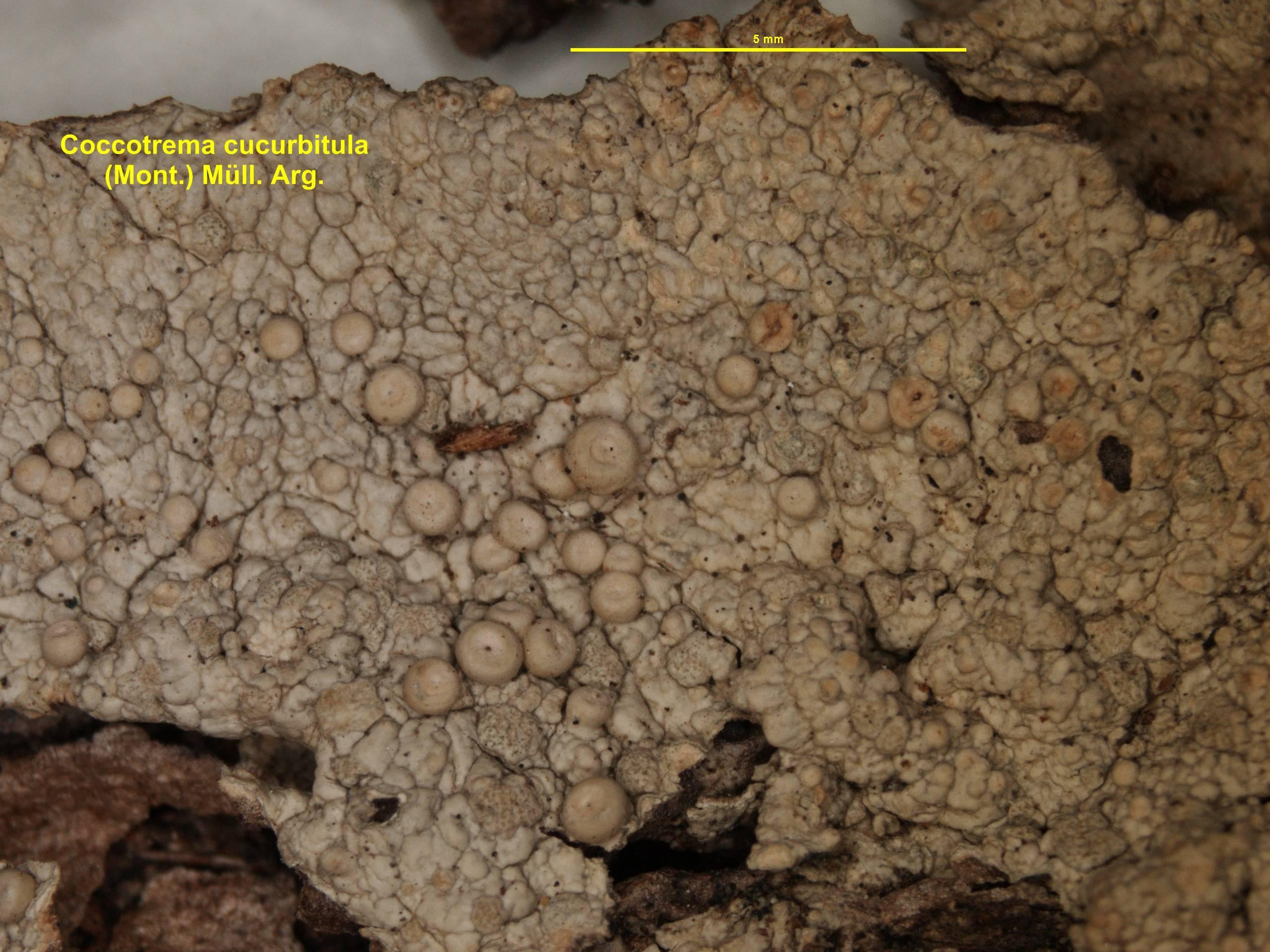 Image of <i>Coccotrema cucurbitula</i>