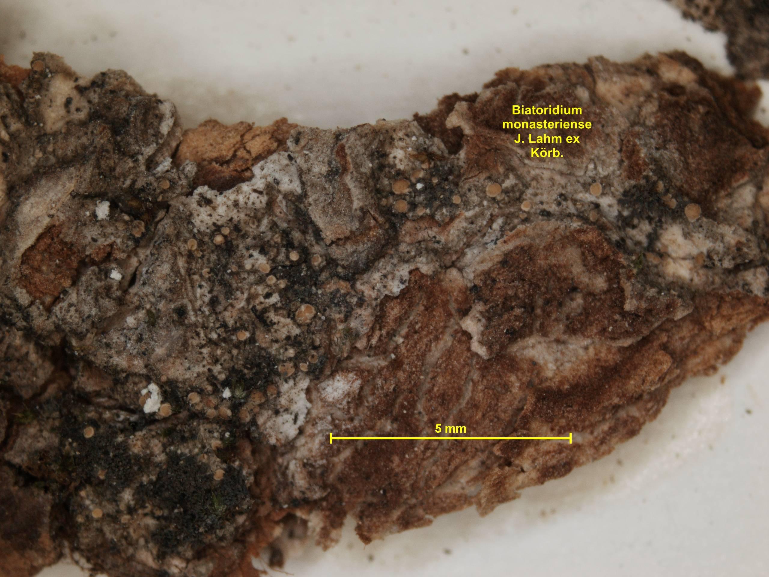 Image of <i>Biatoridium monasteriense</i>