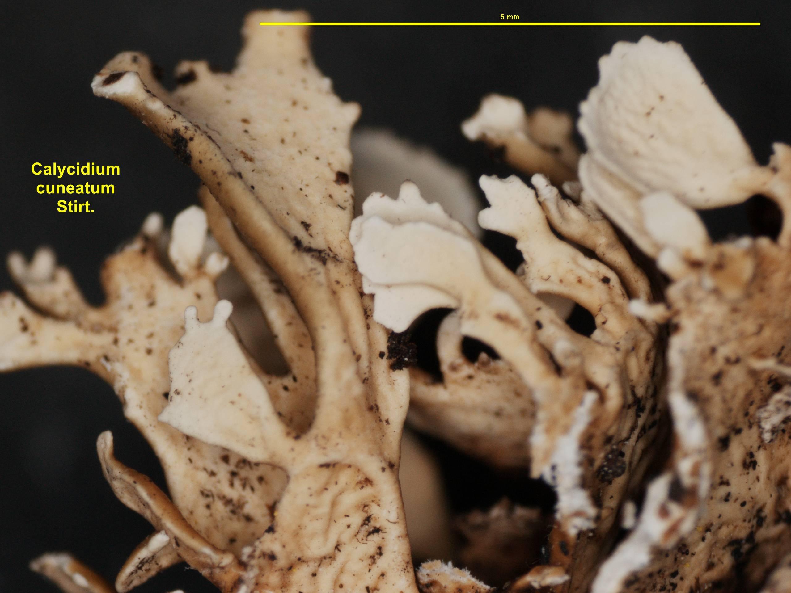 Image of <i>Calycidium cuneatum</i> Stirt.