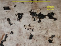 Image of <i>Celothelium aciculiferum</i> (Nyl.) Vain.