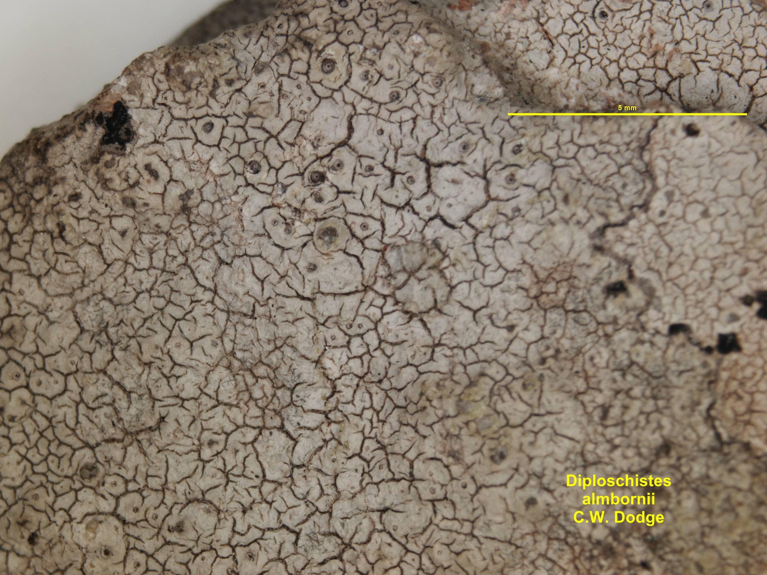 Image of <i>Diploschistes almbornii</i> C. W. Dodge 1964