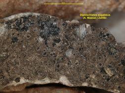Image of <i>Diploschistes euganeus</i> (A. Massal.) J. Steiner