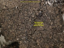 Image of crater lichen