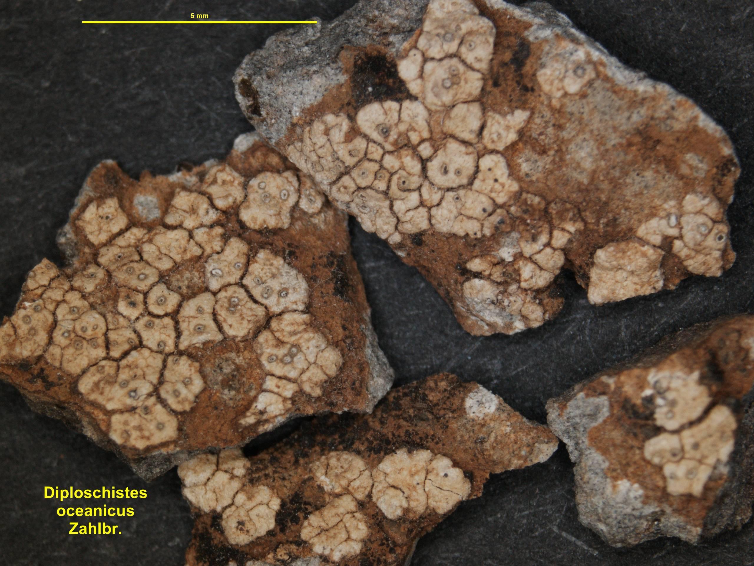 Image of <i>Diploschistes oceanicus</i> Zahlbr.