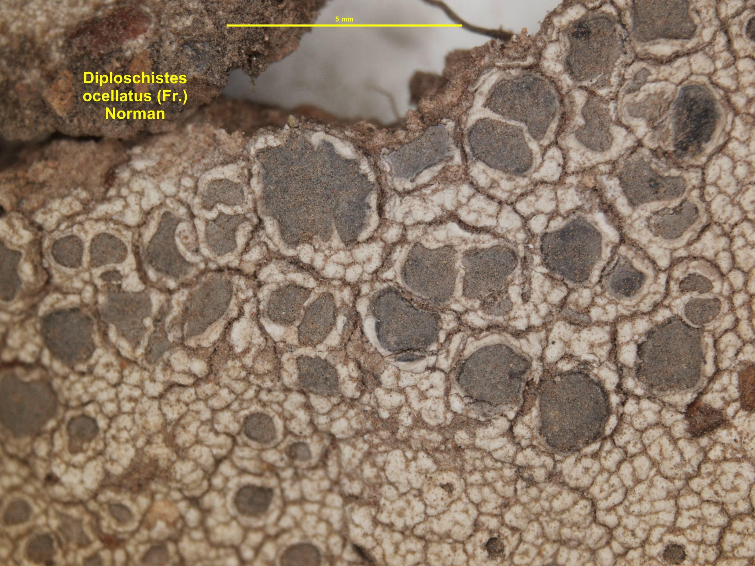 Image of <i>Diploschistes ocellatus</i> (Vill.) Norman