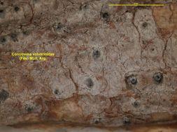 Image of <i>Conotrema volvarioides</i>