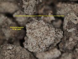 Image of <i>Crocynia hueana</i> (Ach.) Ertz & Tehler