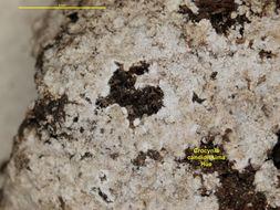 Image of <i>Crocynia candidissima</i> Hue