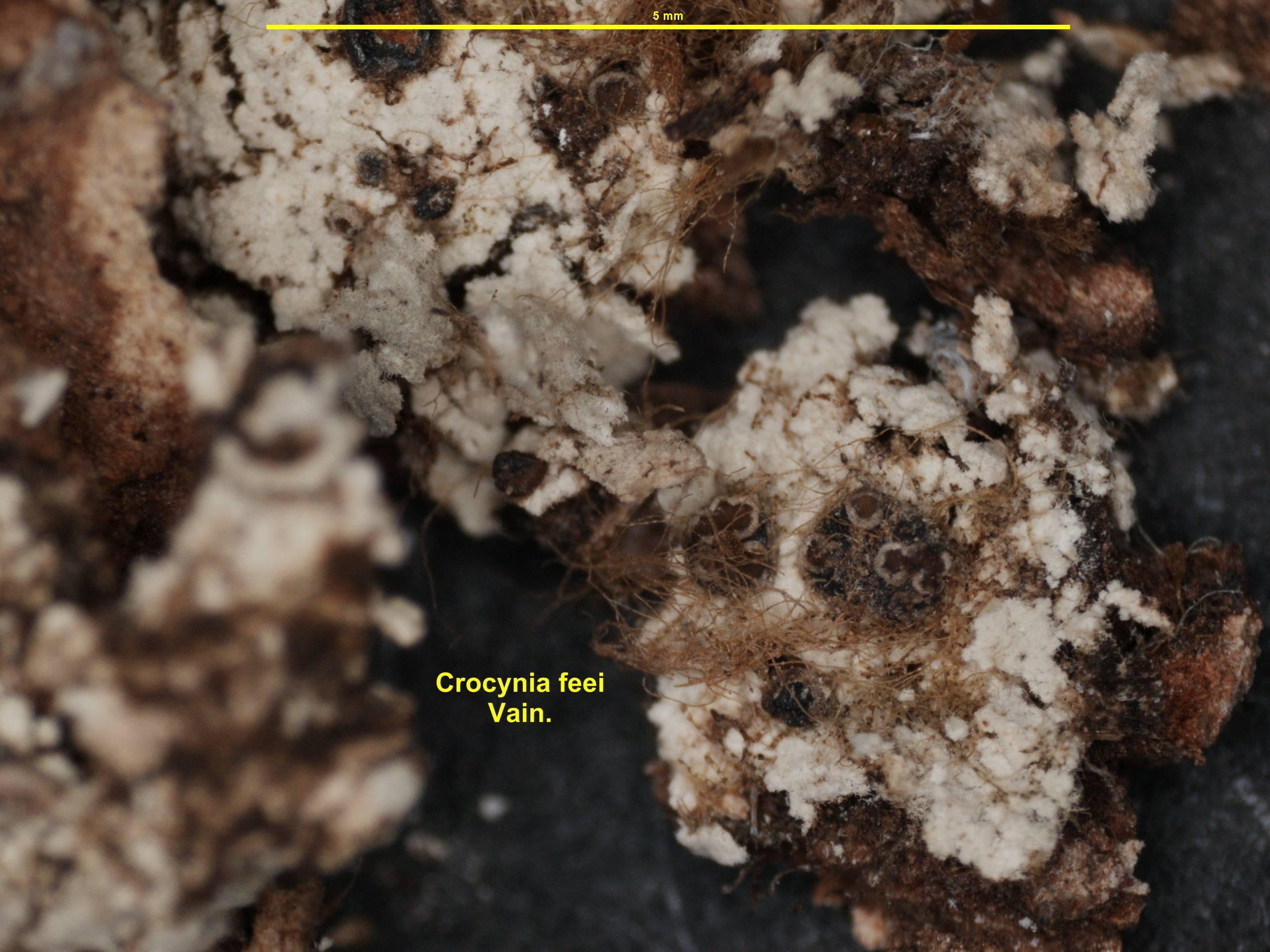 Image of <i>Crocynia feei</i> Vain.