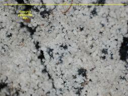 Image of crocynia lichen